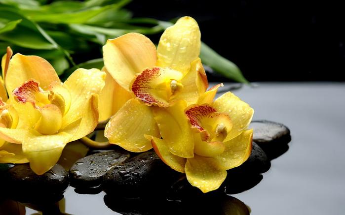 Черная орхидея картинки цветка 7