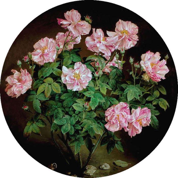 PINK AND WHITE STRIPED ROSE BUSH 61x61 cms  oil on canvas 1996 (700x699, 721Kb)