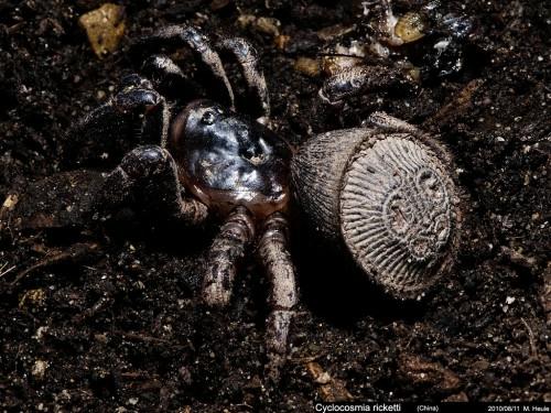 Cyclocosmia truncata паук фото 5 (500x375, 181Kb)