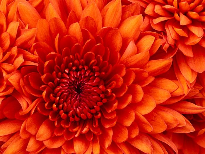 Chrysanthemum (700x525, 571Kb)