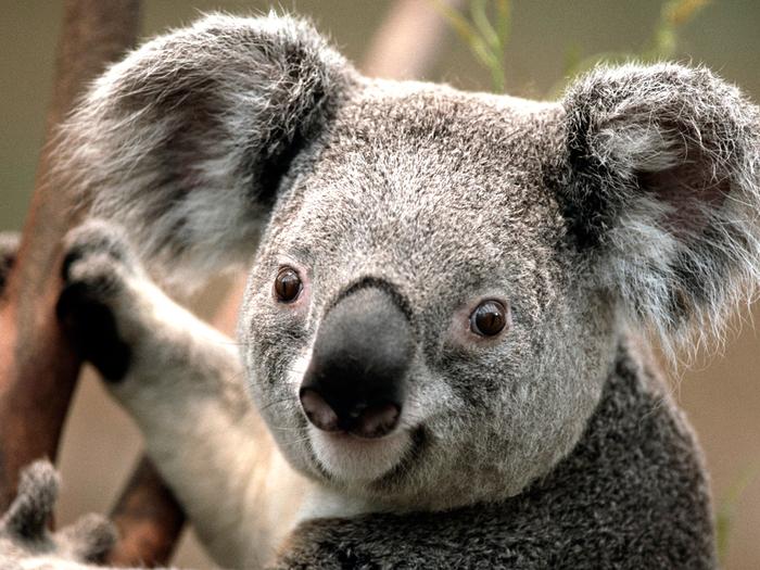Koala (700x525, 506Kb)