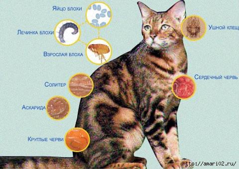 Любимые животные и паразиты, которые их окружают.  Всем известно, что у кошек внутри и снаружи живут паразиты.