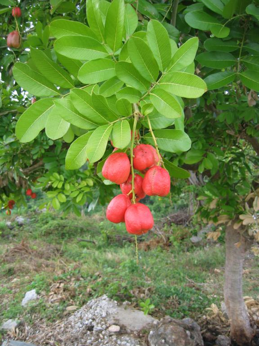 экзотический фрукт аки фото 5 (525x700, 433Kb)