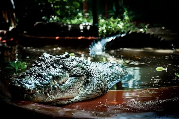 крокодил Кассиус Клей фото 5 (700x466, 243Kb)