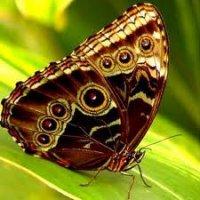"""Предпросмотр схемы вышивки  """"Коричневая бабочка """" ."""