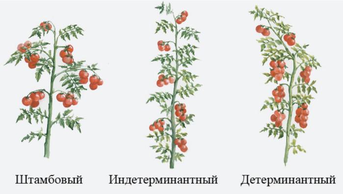 Индетерминантные сорта и