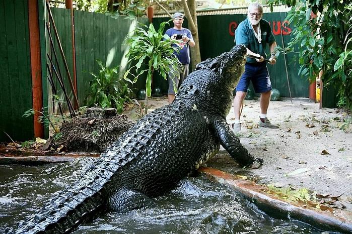 самый большой крокодил в мире Кассиус Клей фото (700x466, 478Kb)