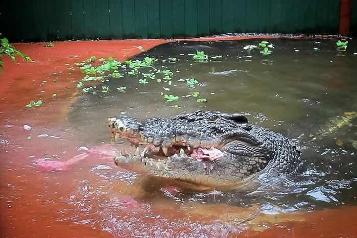 самый большой крокодил в мире Кассиус Клей фото 2 (700x466, 395Kb)