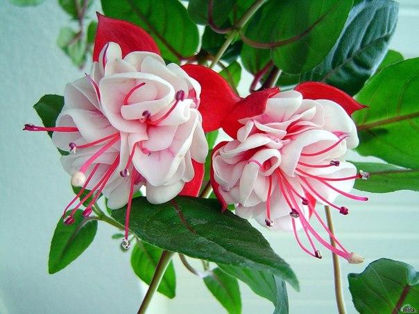 Сегодня увидела на фотке такой цветок-ФУКСИЯ и загорелась!Кто-нибудь разводит такую красоту,в цветочных я не...