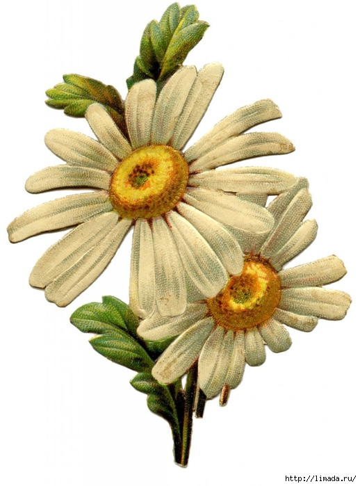 Vintage-Daisy-Image-GraphicsFairy-759x1024 (518x700, 206Kb)