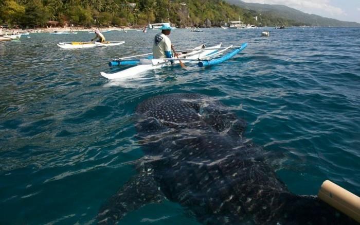 кормление китовых акул фото (700x437, 175Kb)