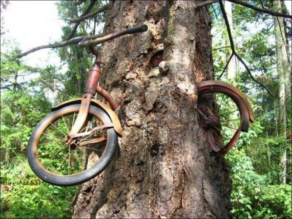 велосипед в дереве на острове вашон фото 1 (570x427, 341Kb)