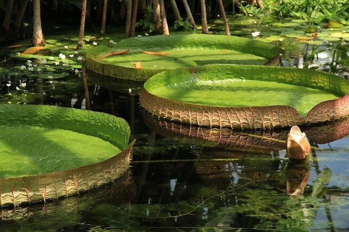 Леса Амазонии13 (700x466, 424Kb)