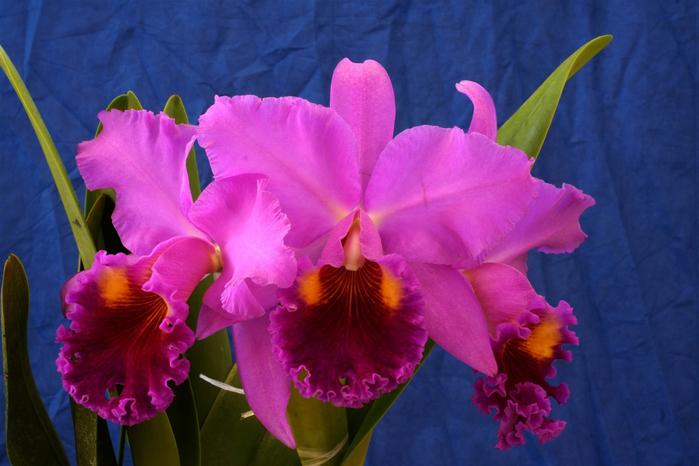 орхидеи 5 (700x466, 340Kb)