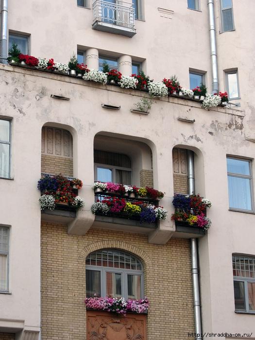 цветы на улицах Питера (2) (525x700, 310Kb)