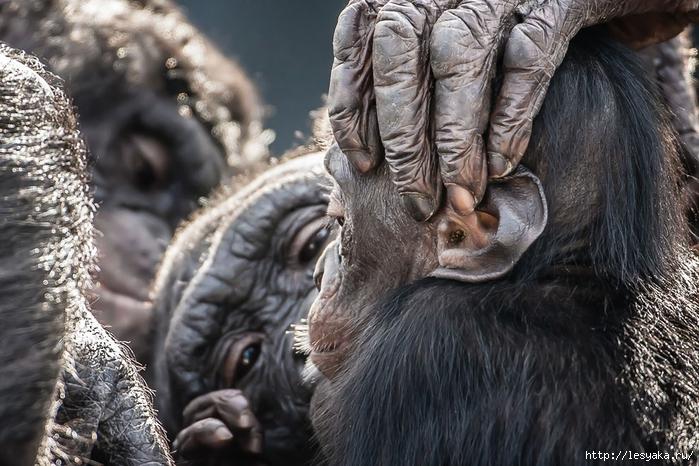 или карликовых шимпанзе.