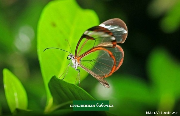 Стеклянная бабочка8 (604x388, 106Kb)