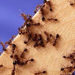 Лечение муравьями (260x260, 15Kb)