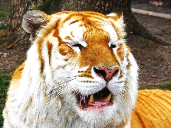 золотой тигр фото 3 (700x525, 319Kb)