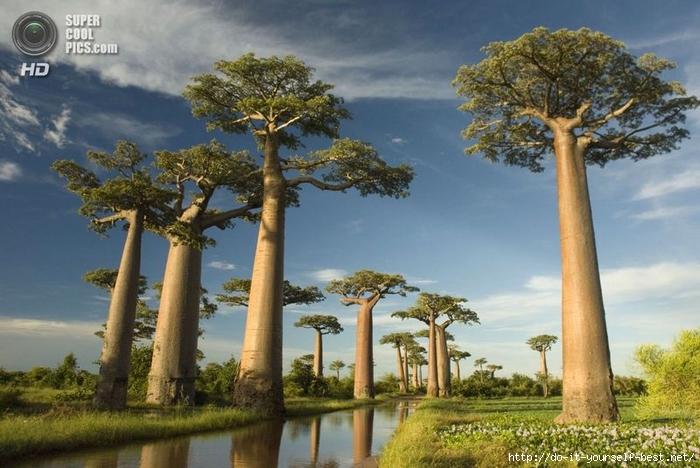 baobab-0002 (700x468, 263Kb)