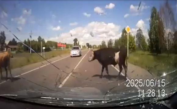 Бык захотел спариться со сбитой автомобилем коровой