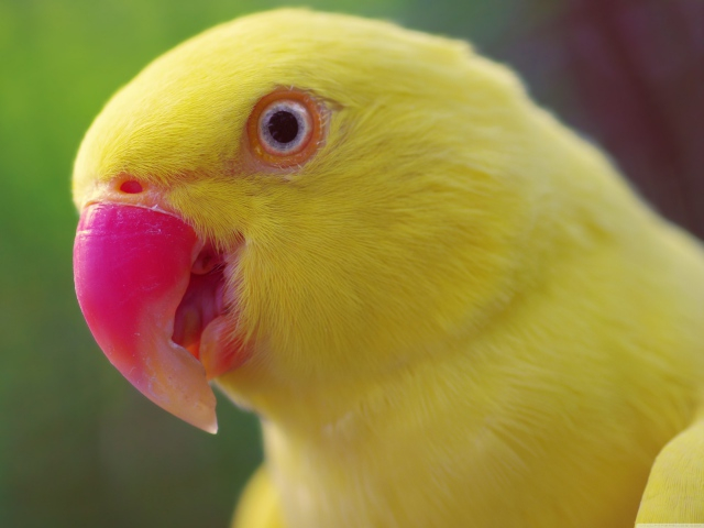 Animals_Birds_Yellow_parrot_036529_ (640x480, 201Kb)