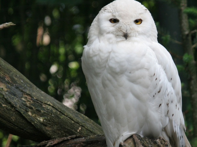 Animals_Birds_White_Owl_on_a_branch_031527_29 (640x480, 211Kb)