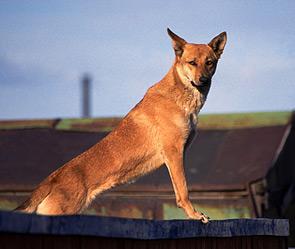Бродячие собаки спасли девочку (295x249, 25Kb)