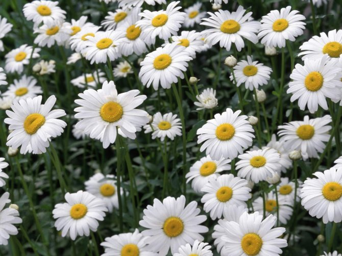 1275817797_oxeye-daisies (670x502, 85Kb)