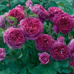 Handbook of Roses 2008-2009(Каталог роз Дэвида Остина), David Austin.