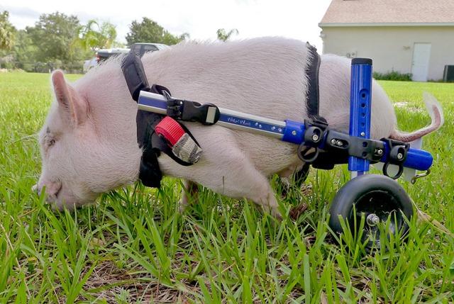 Движение без конечности. Животные инвалиды и их искусственные лапы и хвосты