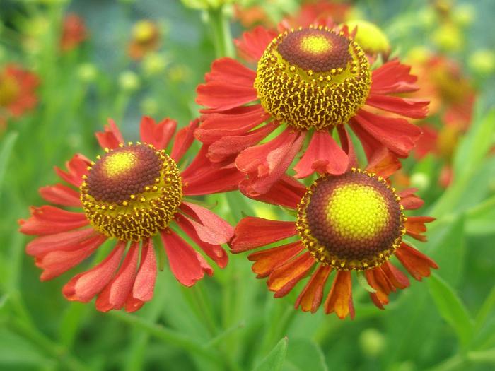 Многолетние цветы которые цветут