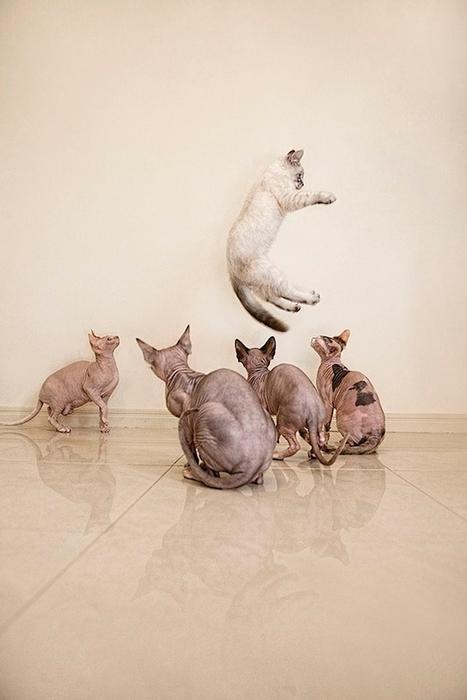 кошки породы сфинкс фото 2 (467x700, 174Kb)