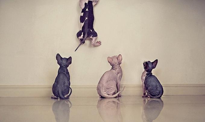 кошки породы сфинкс фото 3 (680x407, 127Kb)