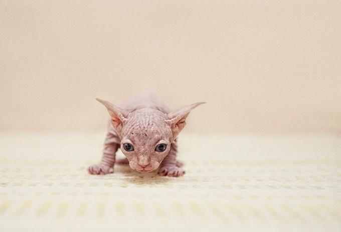 кошки породы сфинкс фото 5 (680x464, 118Kb)