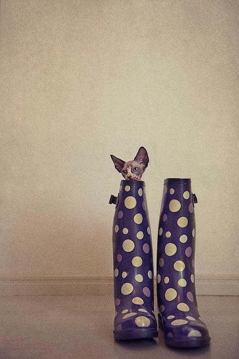 кошки породы сфинкс фото 7 (467x700, 223Kb)