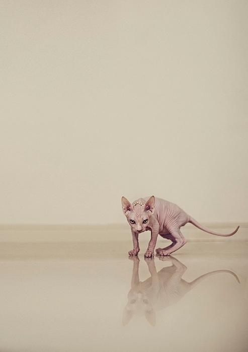 кошки породы сфинкс фото 9 (493x700, 127Kb)