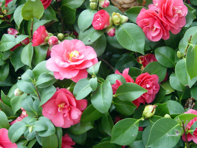 Camellia (640x480, 273Kb)