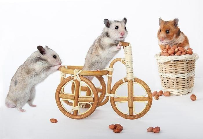 hamsters14 (700x481, 166Kb)