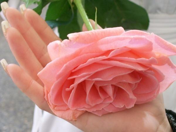 4059776_71938494_________5 (700x599, 51Kb)Прекрасная Роза!О, царственная, как Вы хороша!
