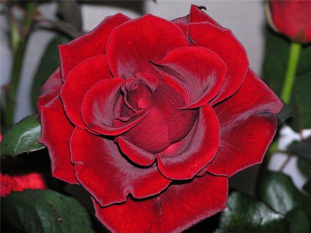 4059776_9c7606188e29 (640x480, 56Kb)Прекрасная Роза!О, царственная, как Вы хороша!