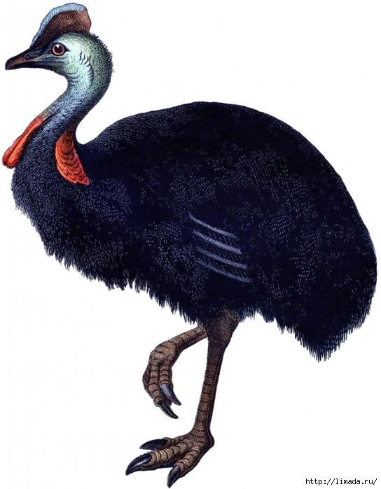 Vintage-Ostrich-Image-2-GraphicsFairy-797x1024 (544x700, 198Kb)