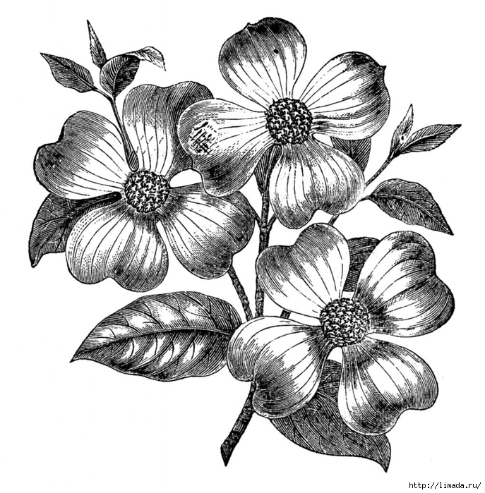 Free-Vintage-Images-Dogwood-Flowers-GraphicsFairy-1006x1024 (687x700, 323Kb)