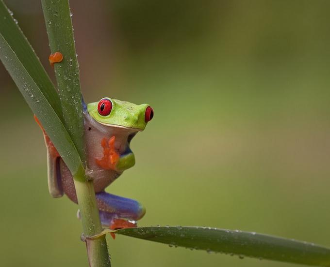 смешные лягушки фото 3 (680x552, 173Kb)