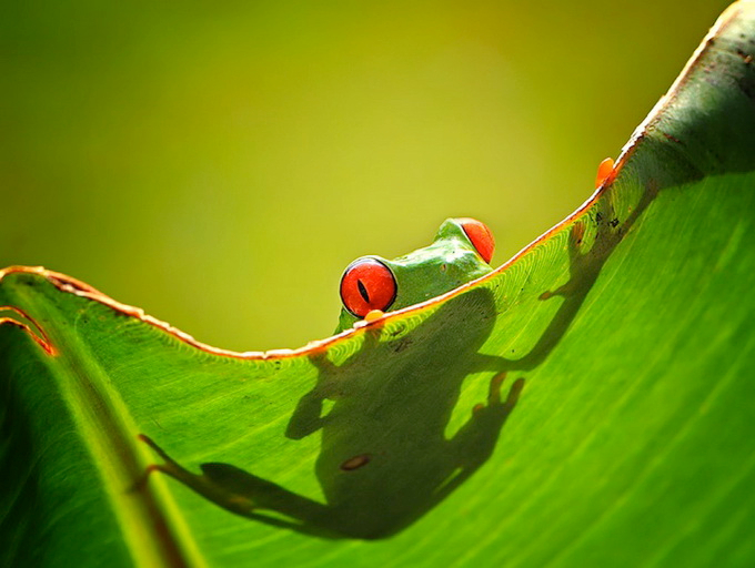 смешные лягушки фото 7 (680x512, 313Kb)