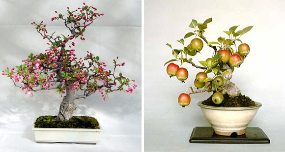 bonsai-flowering-crab-apple-tree (580x309, 137Kb)