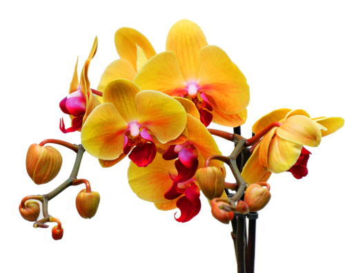 орхидея (500x395, 185Kb)