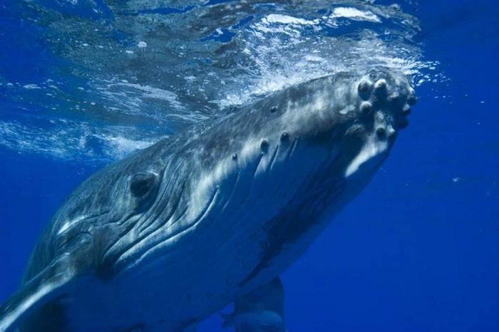одинокий кит фото (700x466, 194Kb)