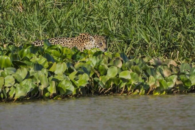 ягуар и крокодил фото (680x453, 233Kb)