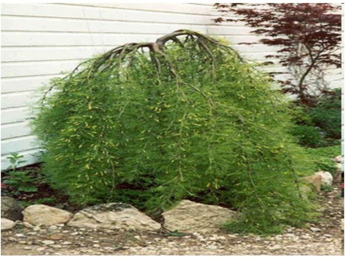 Карагана 30 древовидная Pendula Уолкер фото www.epvbg.com (700x525, 397Kb)
